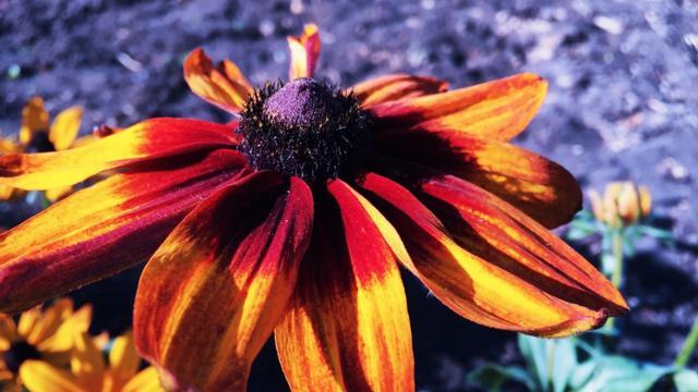 О посадке и уходе в открытом грунте за рудбекией многолетней, выращивание