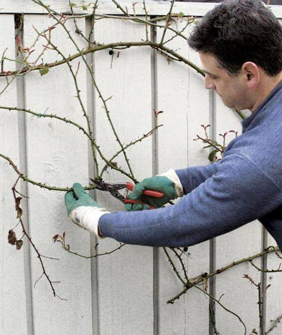 О розе амадеус (amadeus): описание и характеристики сорта плетистой розы