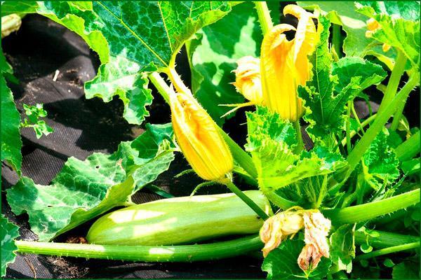 О подкормке кабачков удобрениями для роста: народные средства, секреты по уходу