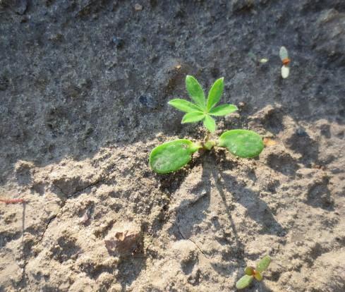 О посадке и уходе за люпином многолетним (сбор семян, выращивание)
