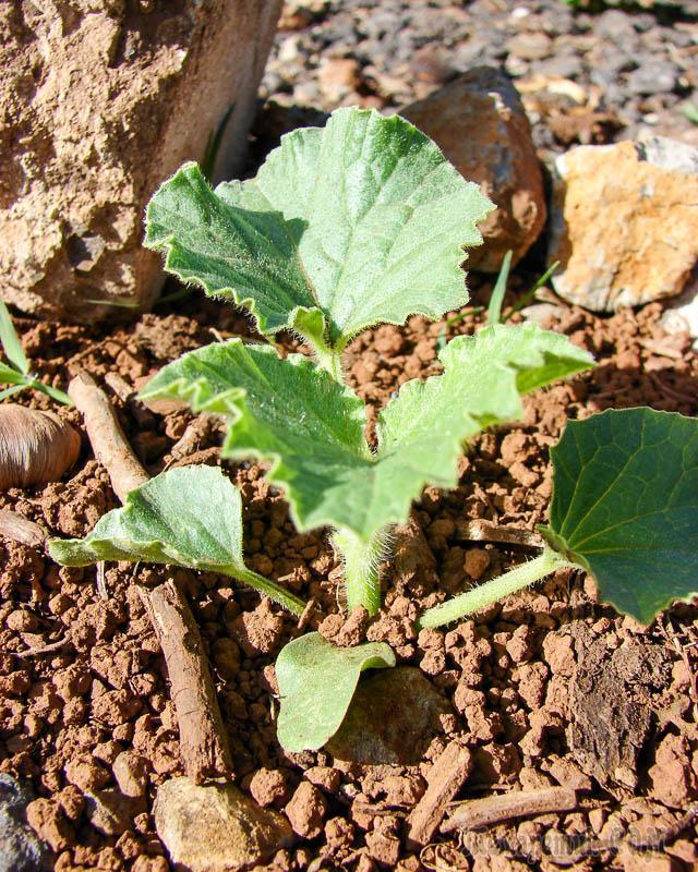 О методах проращивания семян дыни: как правильно замачивать дынные семечки