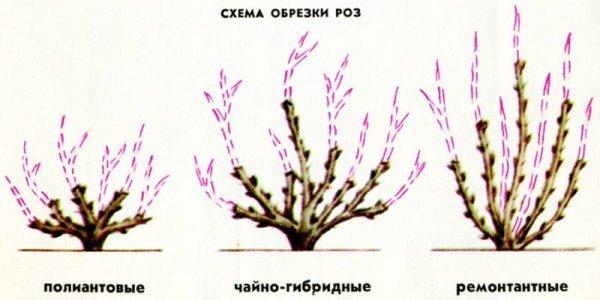 О подготовке роз к зиме: как правильно ухаживать, обрезка и подкормка, укрытие
