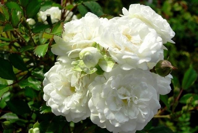 О розе alba meillandecor: описание и характеристики, выращивание морщинистой розы