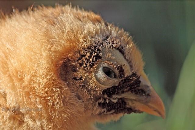 О борьбе с куриным, перьевым клещом (как избавиться, вывести, чем обработать)