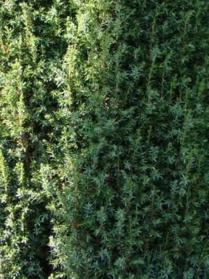 О можжевельнике грин карпет: описание сорта, как посадить и ухаживать