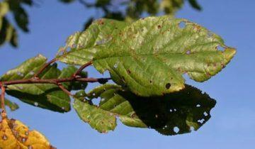 О вишне морозовка: описание сорта, способы выращивания и опыления