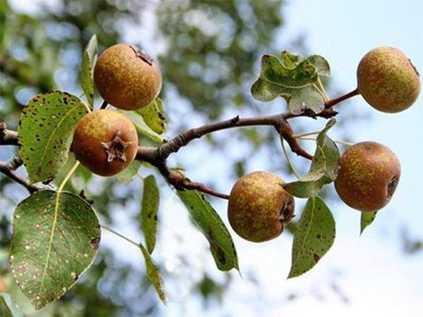 О декоративной груше: выращивание из семян, посадка и дальнейший уход