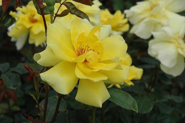 О розе fire flash: описание и характеристики, выращивание сорта кустовой розы