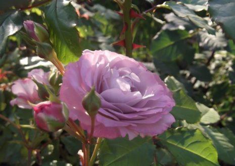 О маленьких розах: посадка и уход за сортами карликовых, миниатюрных роз
