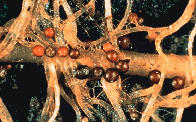 Картофельные болезни: нематода, кольцевая и сухая гниль, как бороться