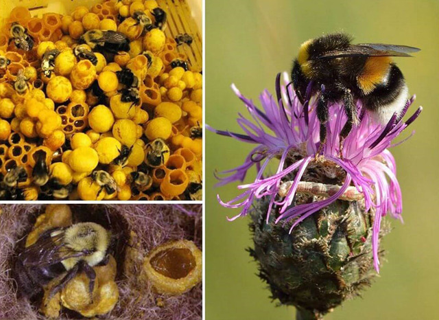 О разведении шмелей: почему не разводят как пчел, как развести на участке самому