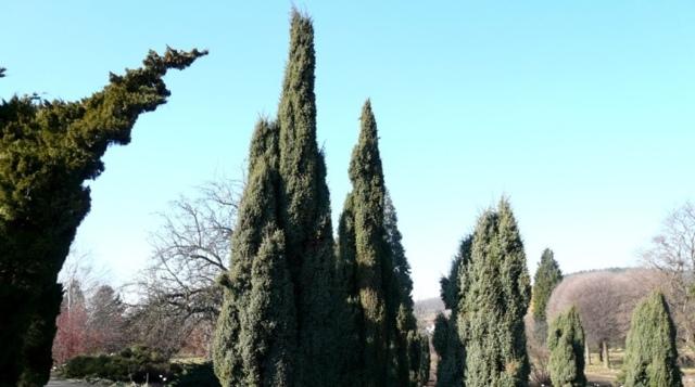 О можжевельнике хиберника: описание сорта, разновидности, характристики