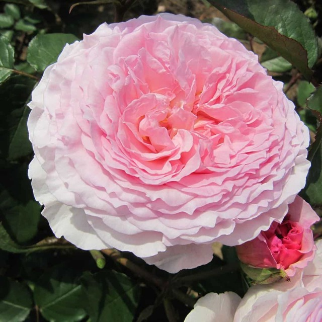 О розе william morris: описание и характеристики сорта, уход и выращивание