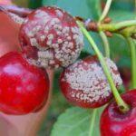 О черешне ипуть: описание и характеристики сорта, посадка, уход, выращивание