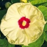 О гибискусе травянистом садовом: описание сорта, как посадить и ухаживать