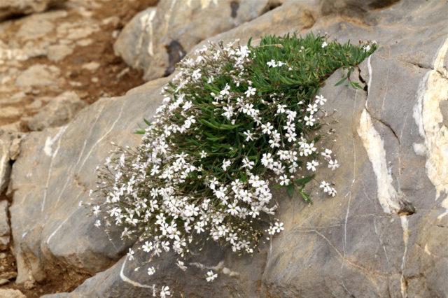 О посадке в открытый грунт и уходе за гипсофилой многолетней, размножение