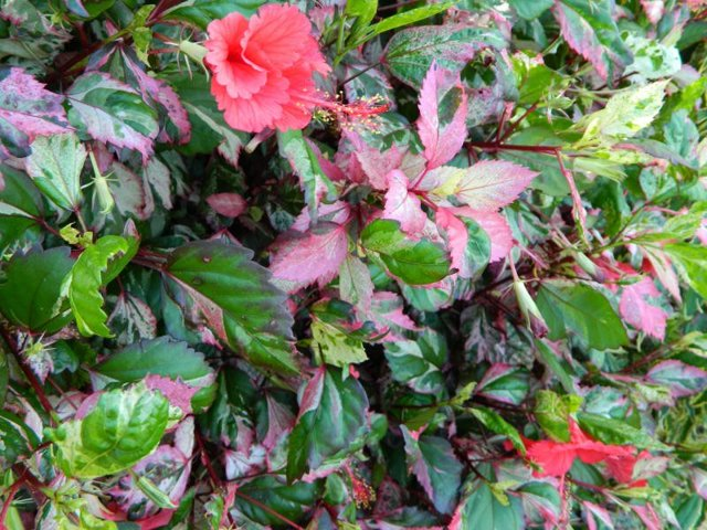 О гибискусе купера пестролистом: описание сорта, как посадить и ухаживать