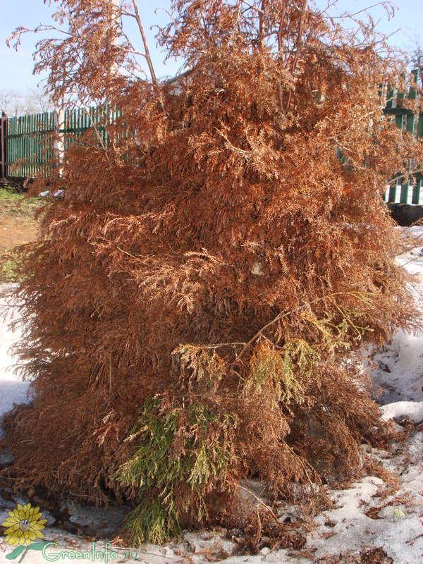 О вредителях и болезнях туи: что делать если растение засыхает, как спасти
