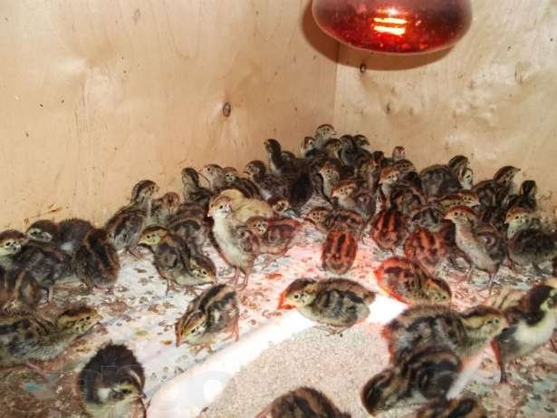 О перепелятах: чем кормить птенцов в первые дни жизни после инкубатора
