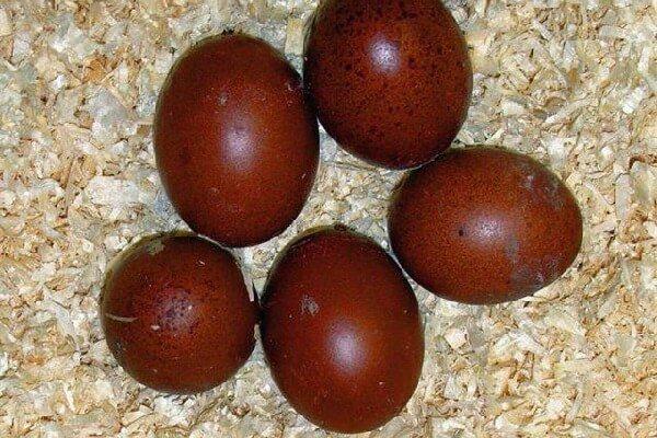 О породе кур маран: описание и характеристика, как определить пол цыплят