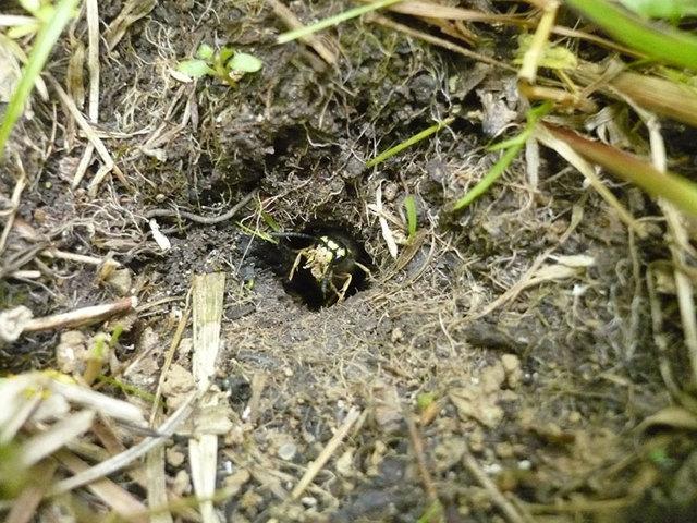 О земляных осах на даче, осиное гнездо в земле, как выглядит черная оса