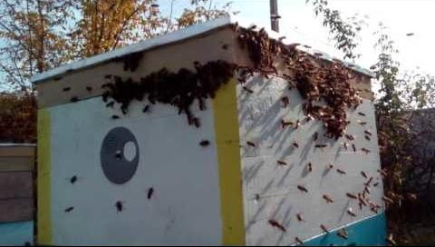О нападении пчел на пчел, пчелиное воровство, что делать когда уже началось