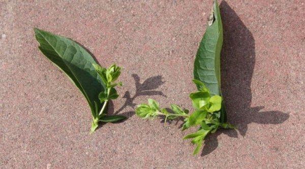 О посадке и уходе за шиловидным флоксом в открытом грунте, размножение