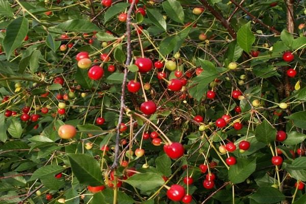 О карликовой вишне: описание сорта, особенности выращивания и ухода