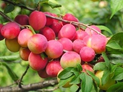 О сливе красный шар: описание сорта, агротехника выращивания, особенности ухода