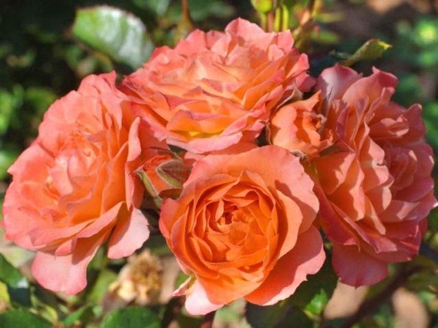 О розе explorer: описание и характеристики сортов пинк и хот, выращивание