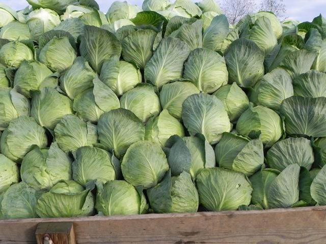 О капусте атрия: описание и характеристика белокочанного сорта, выращивание