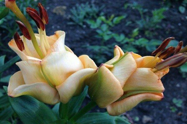 О лилии фаворитка: описание и характеристики, посадка и уход за лилией-тюльпаном