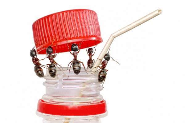 О методах борьбы с домашними муравьями: народные рецепты от насекомых в доме