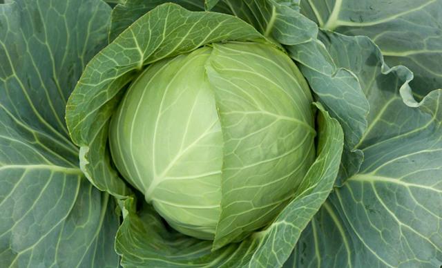 О капусте теща: характеристика и описание сорта, выращивание и уход