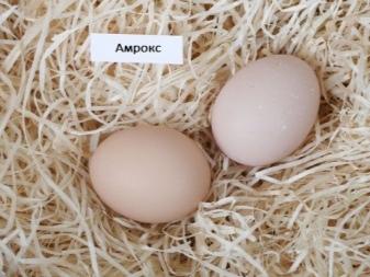 О курах амрокс: характеристики породы, разведение, содержание поголовья