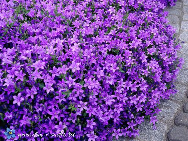 О многолетних цветах колокольчиках: посадка и уход, агротехника выращивания