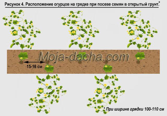 О правильной посадке огурцов в открытом грунте и парнике и должном уходе