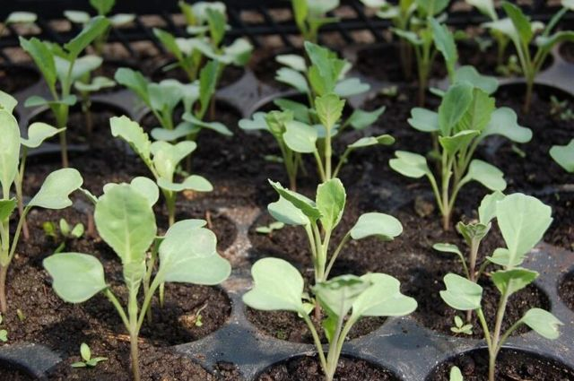 О капусте белокочанной: когда сажать рассаду, как поливать (правильный уход)