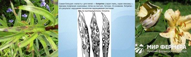 О болезнях лилий и борьбе с вредителями: чем лечить ботритис, другие заболевания