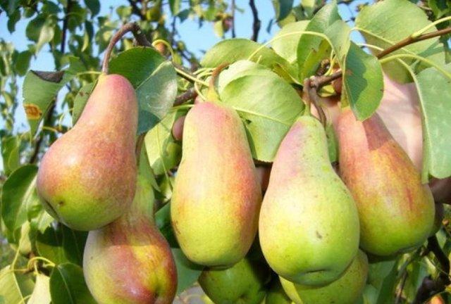 О груше перун: описание и характеристики сорта, посадка, уход, выращивание