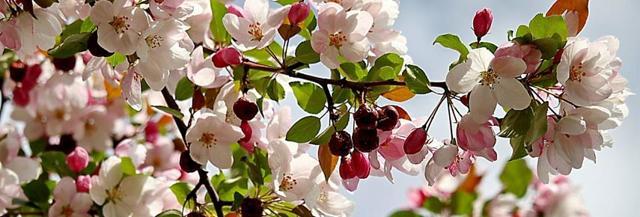 О посадке яблони весной саженцами: как правильно высаживать (руководство)