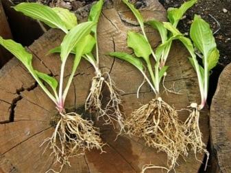 О размножении хосты делением куста (когда можно разделить: осенью или весной)