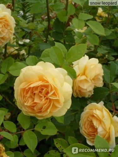 О розе teasing georgia: описание и характеристики сорта, уход и выращивание