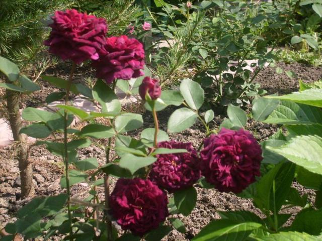 О розе prince jardinier: описание и характеристики сорта, уход и выращивание
