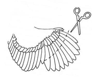 О индюках: как подрезать крылья и в каком возрасте можно делать подрезку