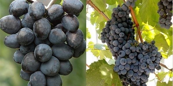 О винограде аттика: описание, характеристика, урожайность, агротехника