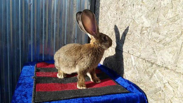О кролике фландр: описание породы бельгийского великана, содержание и разведение
