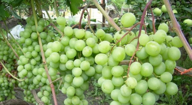 Можно ли вырастить виноград из косточки в домашних условиях, как прорастить
