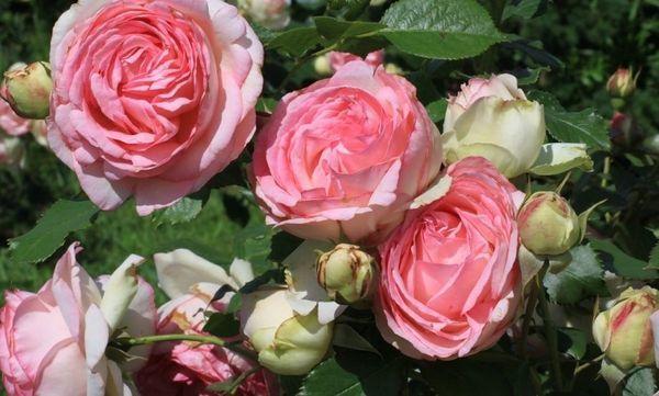 О розе пьер де ронсар (pierre de ronsard): описание, характеристики, выращивание