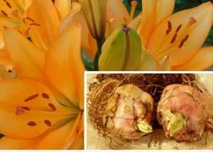 О посадке и уходе за лилиями в открытом грунте в сибири (зимостойкие сорта)